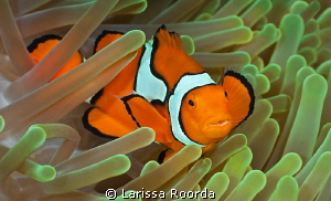 Clownfish by Larissa Roorda 